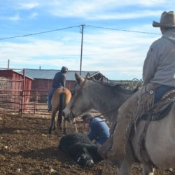 Taos and Cody head adn heel bull calves (3)